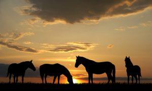 Horses sunset background
