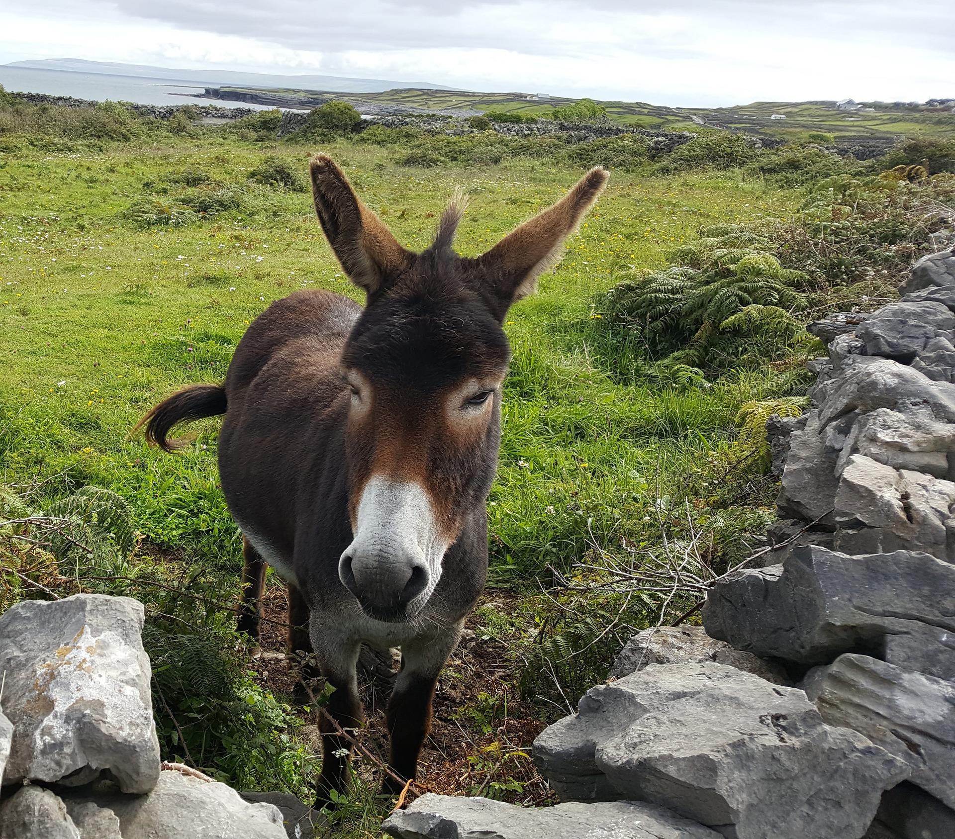 donkey-2245073_1920 (1)