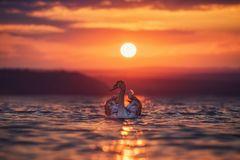 swans-sea-beautiful-sunset-104762390
